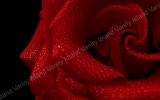 rosa rossa 1